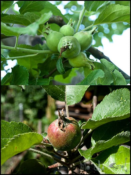 apple tree with young apples masalaherb.com