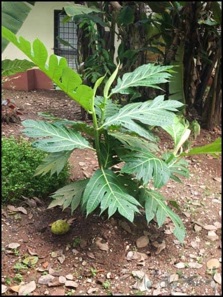 Breadfruit tree masalaherb.com