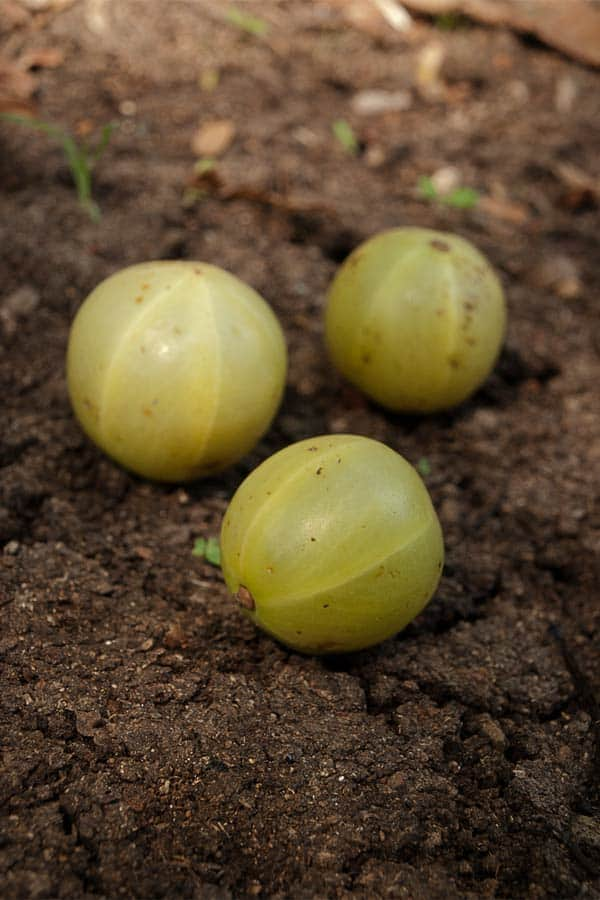 Amla Candy - How to use Amla - Amla benefits - The Indian Gooseberry #stepbystep #recipe masalaherb.com